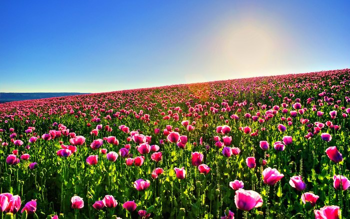 pink-flower-field-2